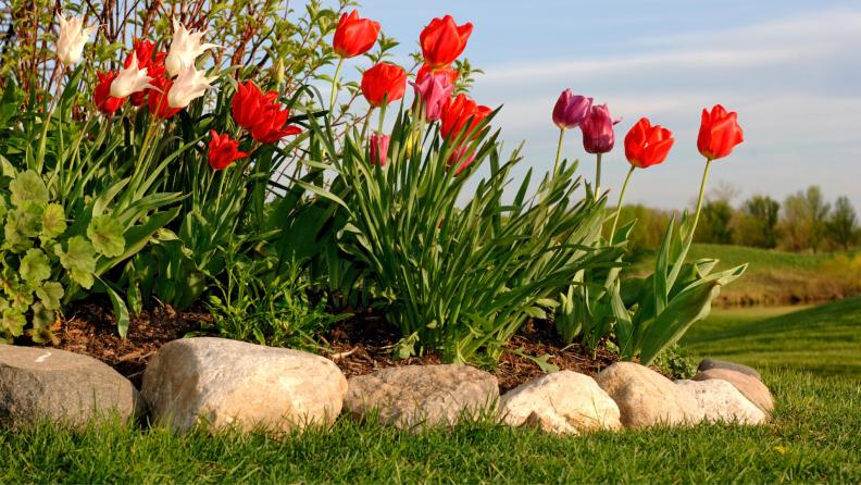 tulips on garden edge