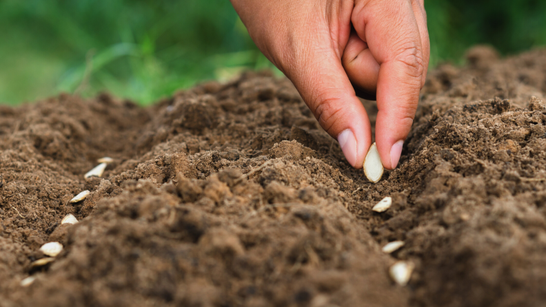 Planting pumpkin seeds in the dirt