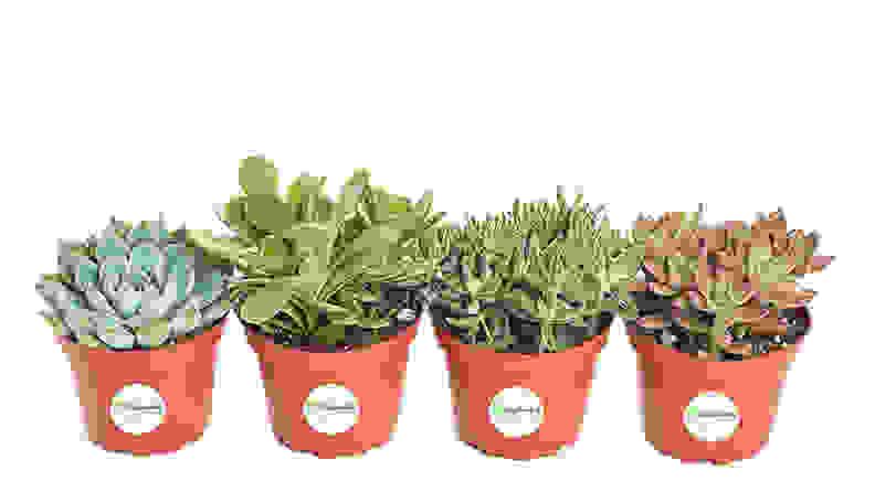 Shop Succulents Assorted Succulent
