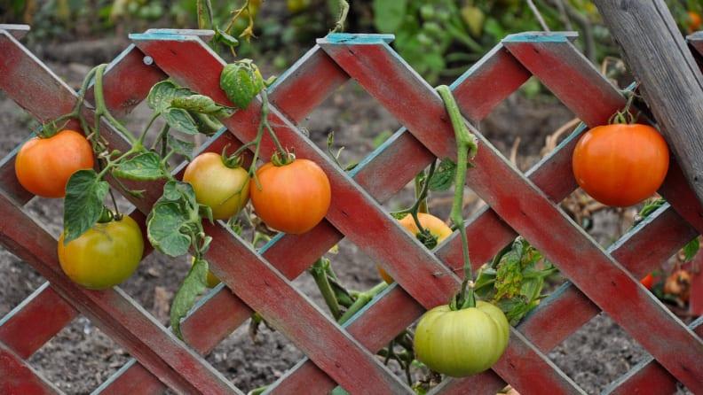 tomatoes on trellis