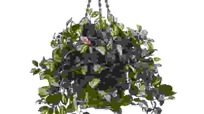 6 Hanging Plant