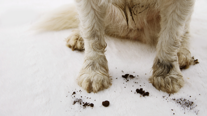 Dog standing on carpet with muddy paws