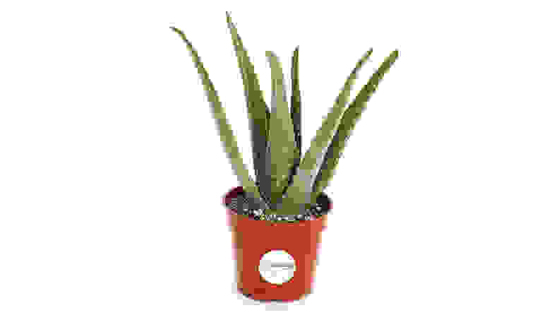 Shop Succulents Aloe Vera Plant