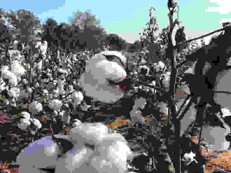 cotton-flickr-martinlabar.jpg