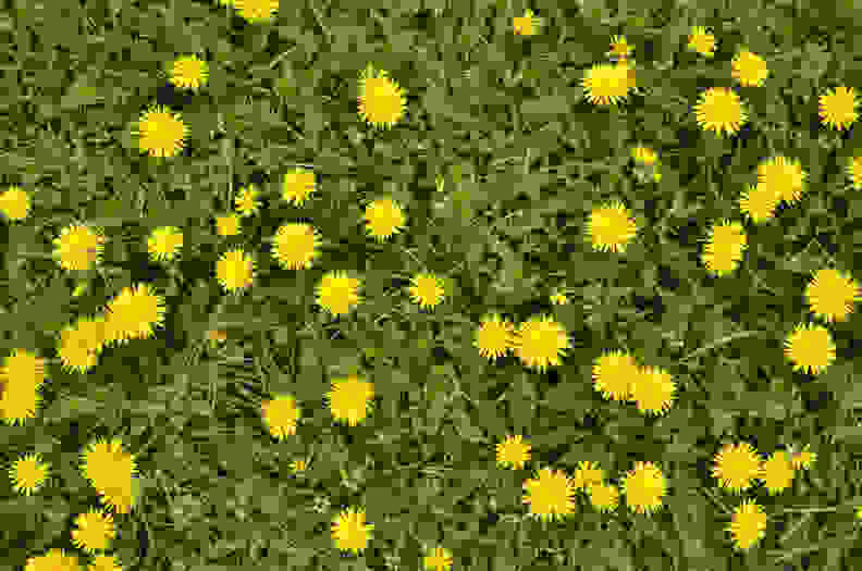 Lawn filled with dandelions