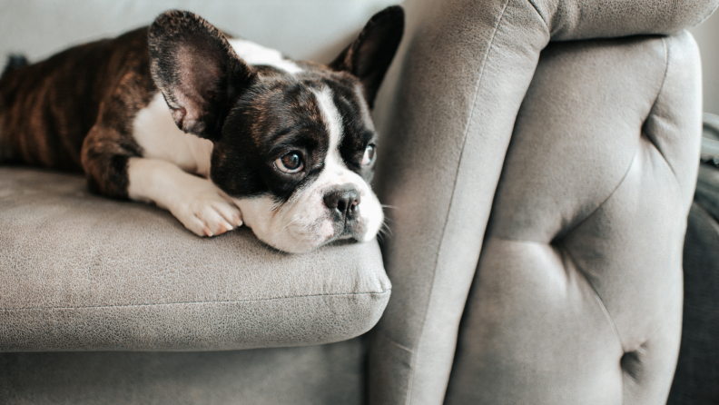 Brown and white french bull dog on couch.