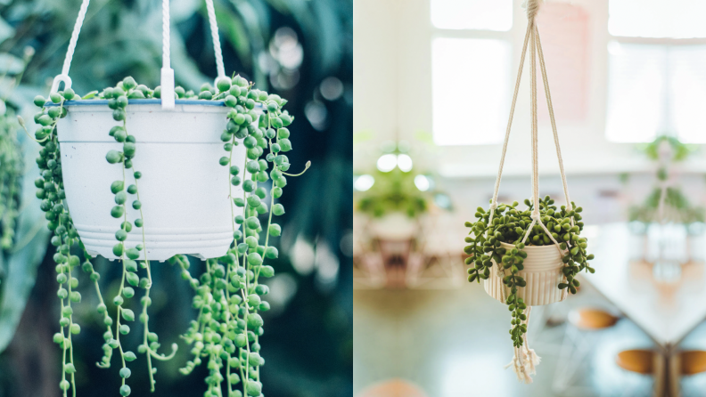 On the left, a real strong of pearls plan in a white hanging planter. On the right, a fake string of pearls plant in a tan hanging planter.