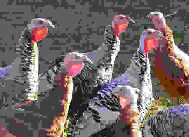 Heritage Turkey (melystu).jpg