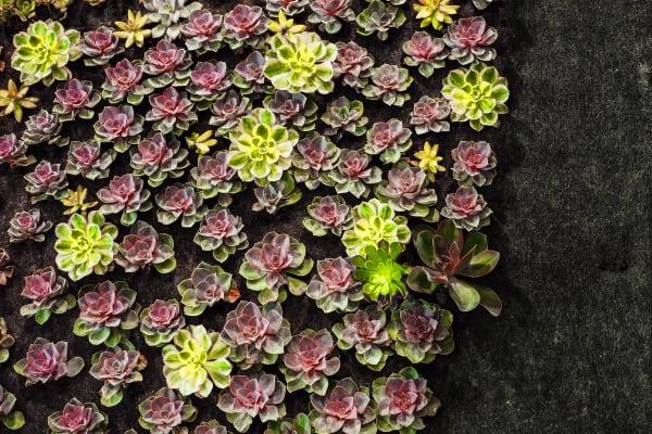 Living Walls –Succulents