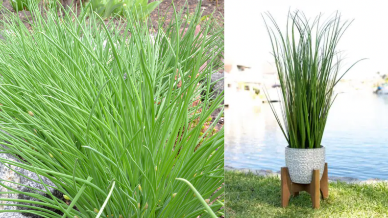 On the left, an onion grass plant in the ground. On the right, onion grass in a ceramic planter in front of a body of water.
