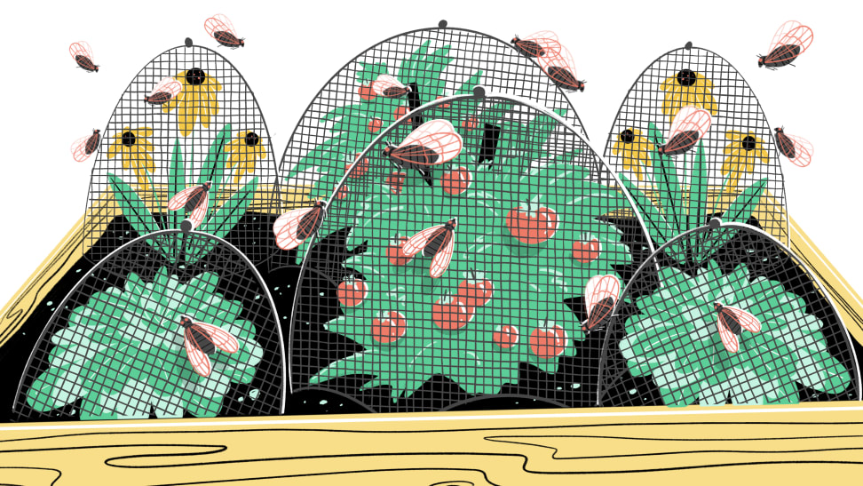 An illustration of cicadas swarming tomato plants and flowers that are covered in netting.