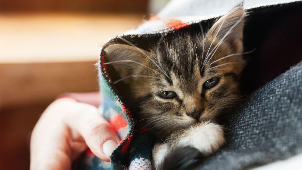 A kitten under a blanket