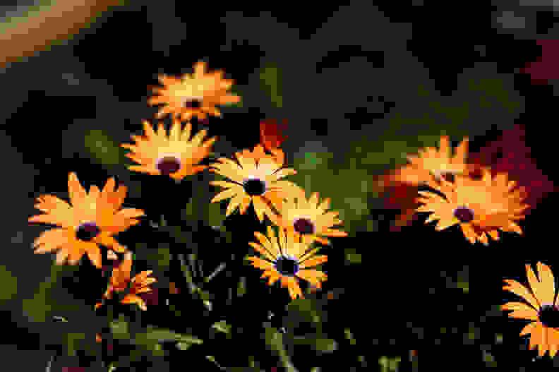 Sigma 50mm 1.4 Sample Flowers