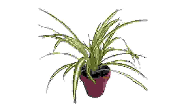 Hirt's Gardens Ocean Spider Plant