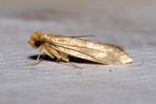 A mature clothes moth