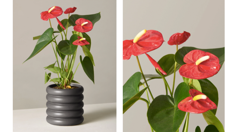 Two images of plant with red blossoms