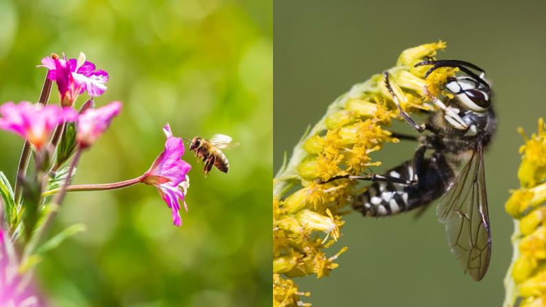 honeybee and bald-faced hornet