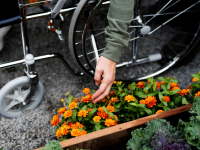 Person leaning over in their wheelchair to tend to orange flowers on ground.