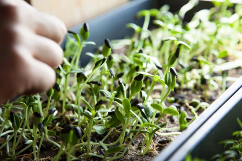 Microgreens Being Grown