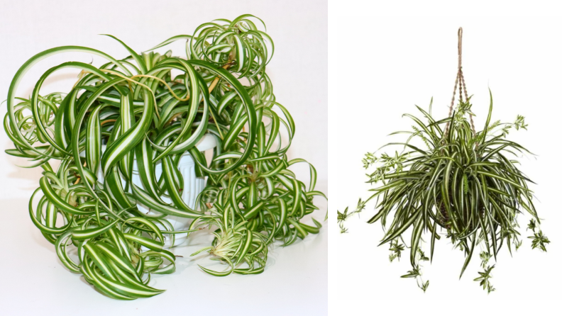 On the left, a real spider plant with lots of overgrowth. On the right, a spider plant in a plant hanger.