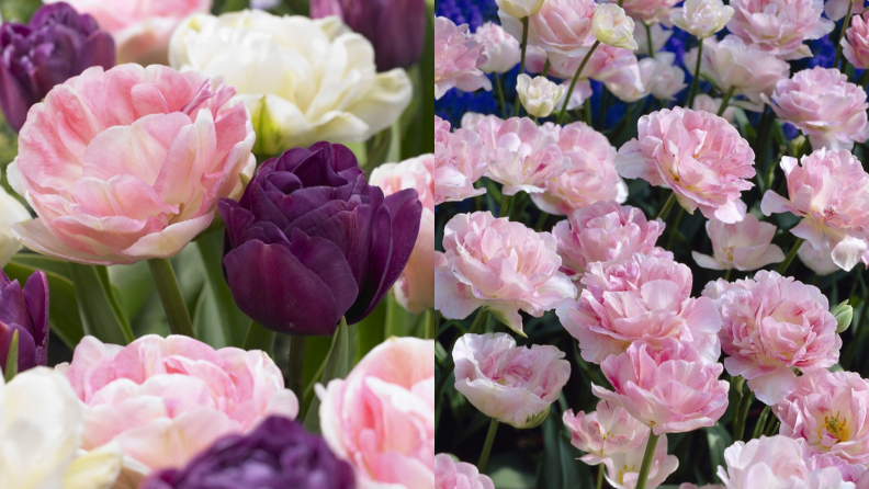 peony-tulips