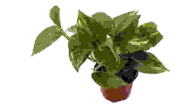 9GreenBox Golden Devil's Ivy