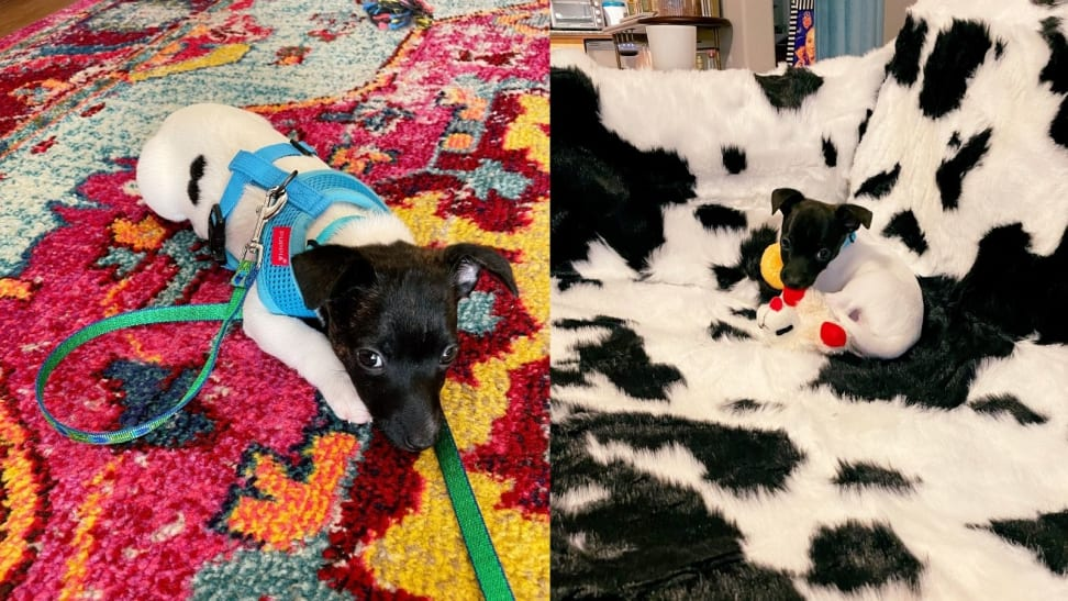 Left: Puppy in harness and on leash. Right: Puppy on waterproof pet blanket.