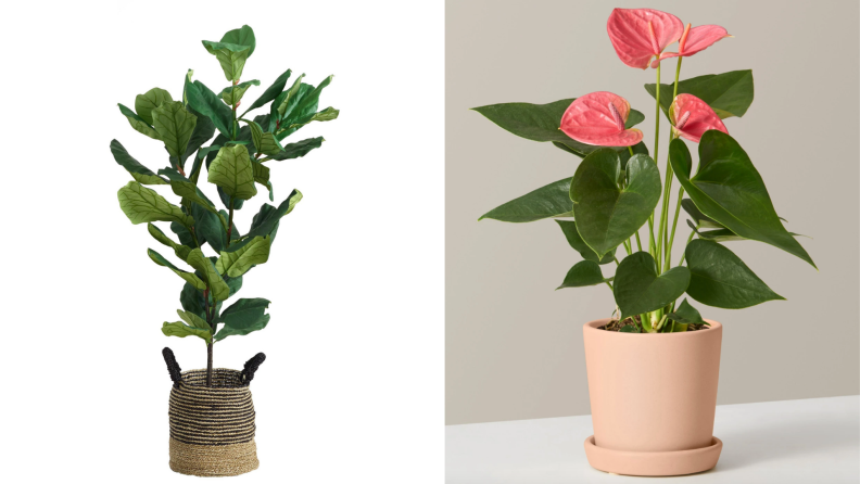 WM fig plant and pink anthurium product shot