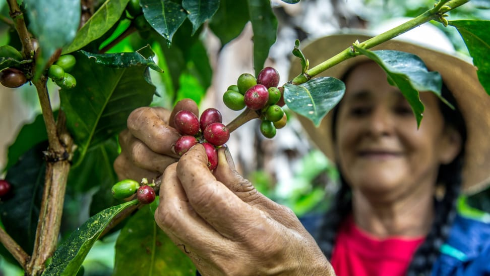 A hat-wearing person is picking red and green coffee cherries off a branch.