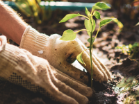 Planting a seedling into the ground
