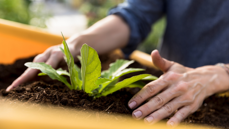 Woman's hands patting soil around plant in raised garden bed.