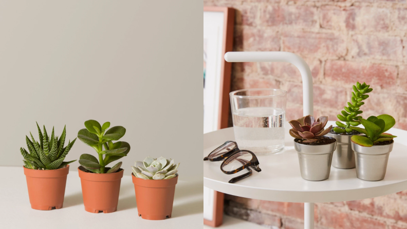 On left, three potted succulent plants lined up next to each other. On right, three potted succulent plants sitting on bedside table next to glass of water and pair of eyeglasses.