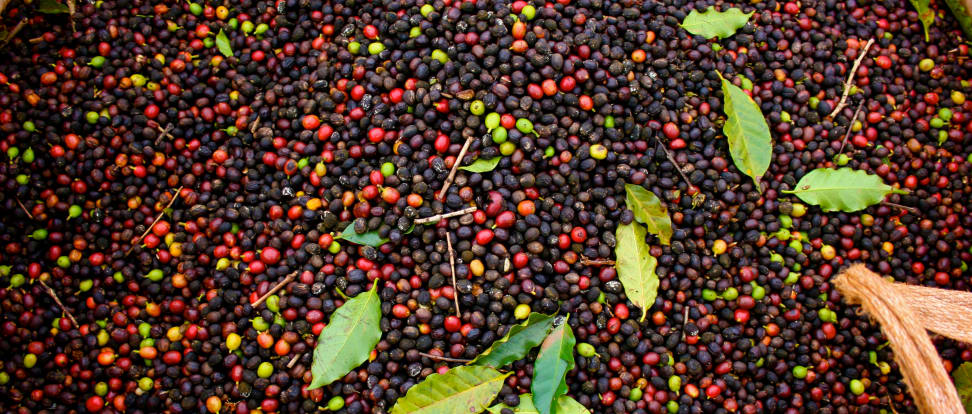 Coffee beans just after harvest.
