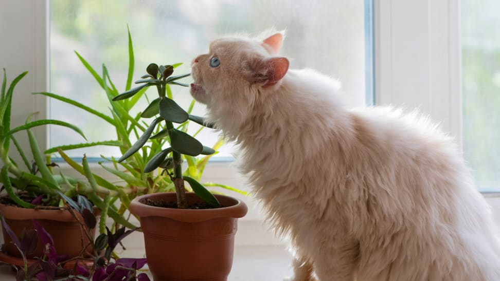 A white Persian cat about to eat a succulent, which may or may not be a toxic plant for cats and dogs.