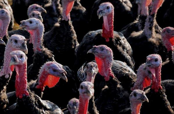 turkeyfarm.jpg