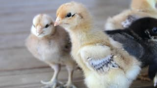 Keep growing chickens happy and healthy in a DIY brooder.