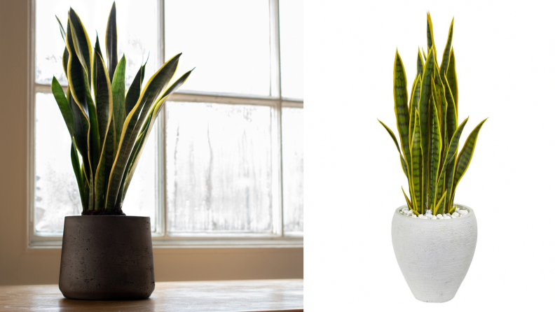 On the left, a real snake plan in front of a foggy window. On the right, a fake snake plant in a white plant.
