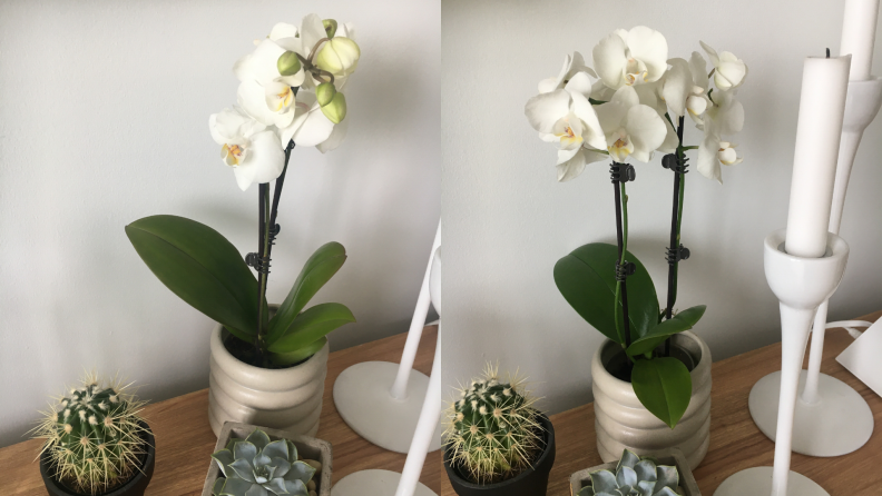 White orchid blooms from The Sill