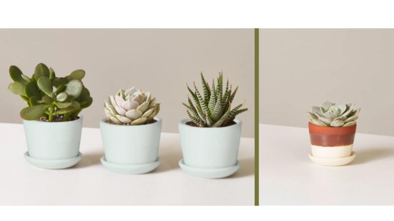 Four succulents in colorful pots.