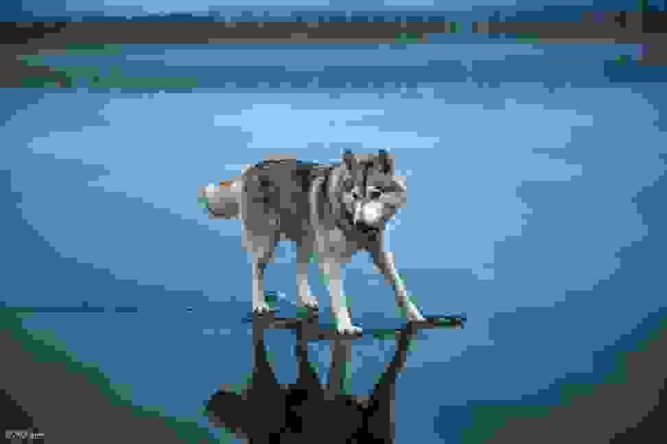 Huskies-Walking-On-Water-8.jpg