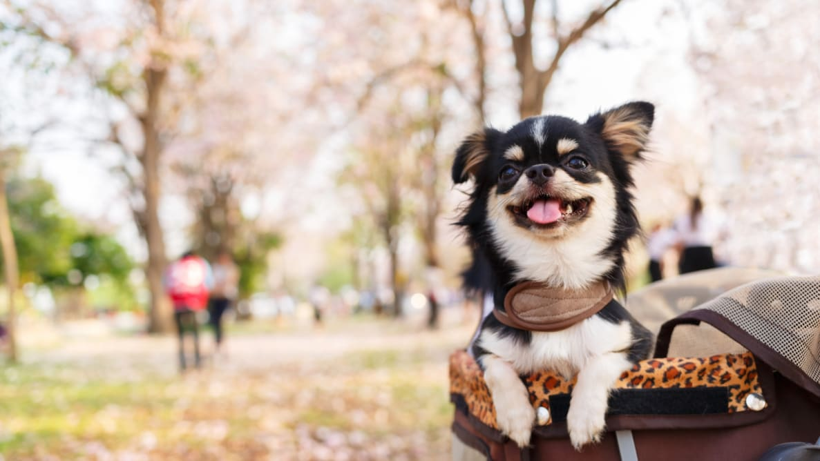 Dog in a pet stroller in the park.