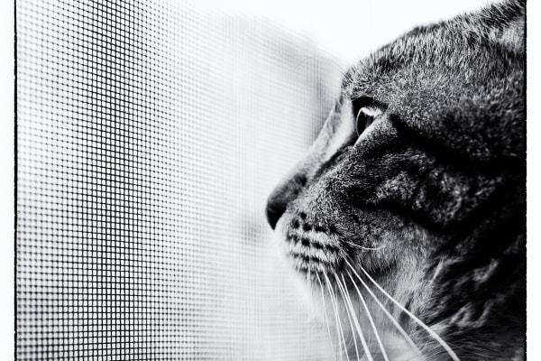 black and white cat looking out window