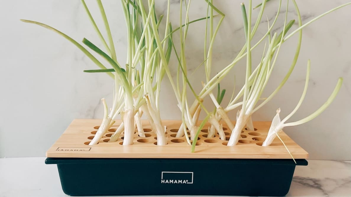 A green onion kit filled with sprightly, long green onions that have full regrown from the bulbs.