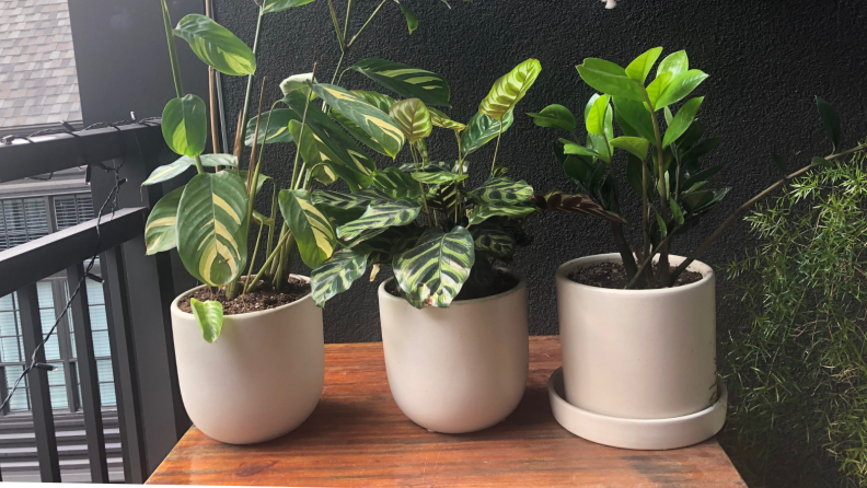 Three green plants sit on a table in small grey pots.