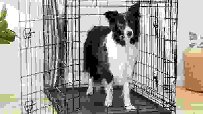 A black and white dog stands inside a wire dog crate