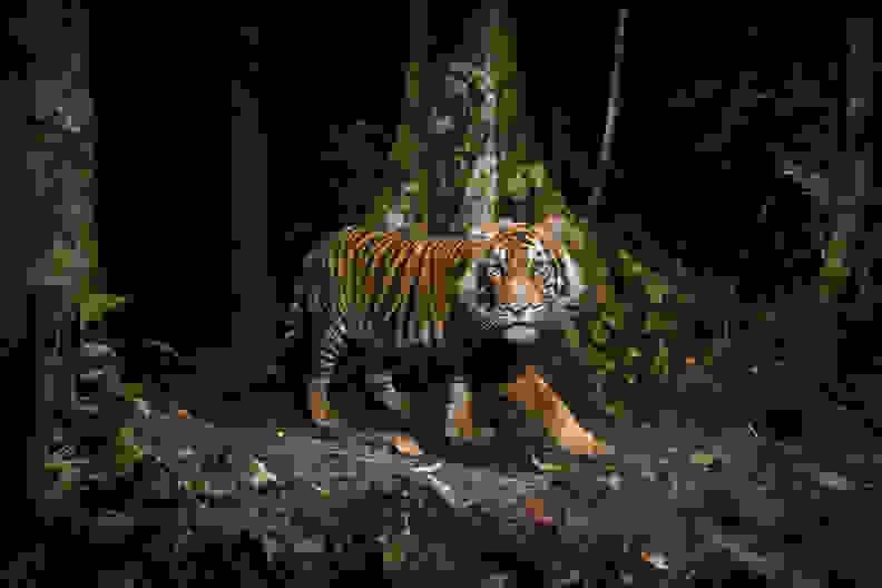 natgeo-tiger.jpg