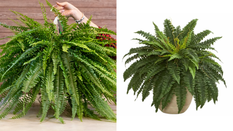 On the left, a real Boston fern plant. On the right, a fake Boston fern plant against a white background.