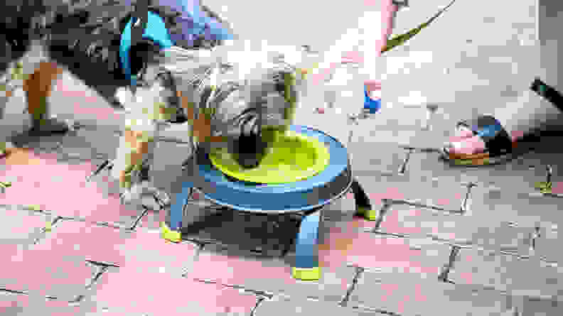 An image of a small dog using the Popware bowl to drink from.