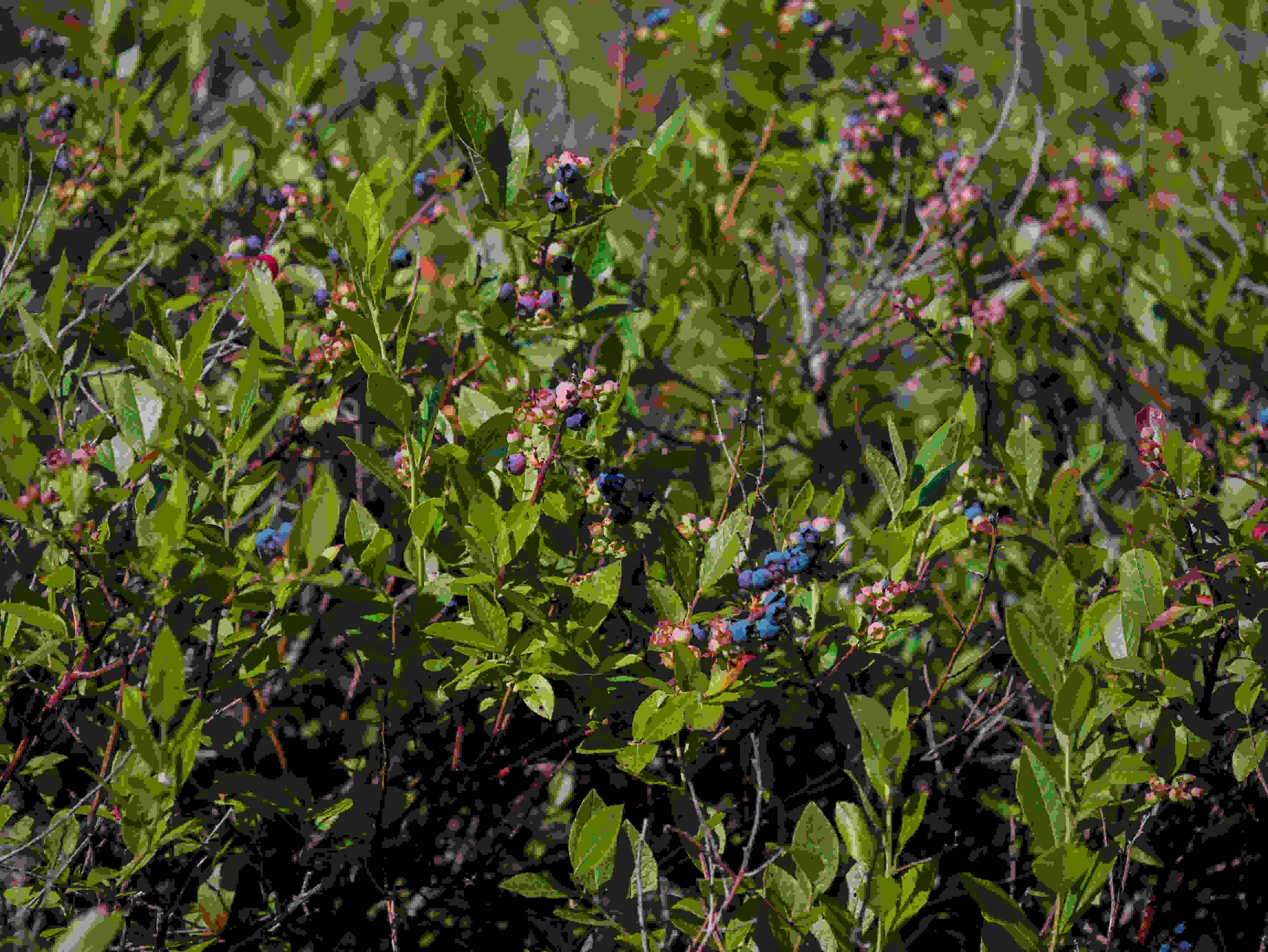 A photo taken by the Panasonic Lumix G7 of blueberry bushes.
