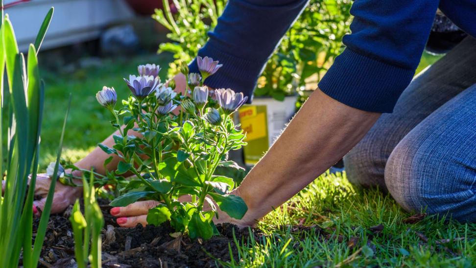 Woman planting purple flowers in garden